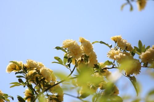 黄モッコウバラ0001_4