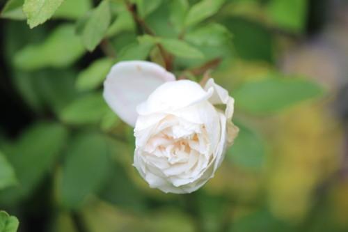 オドラータ四季咲き0001