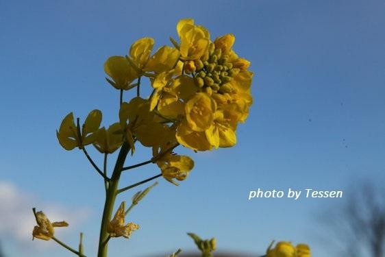 IMG_5984菜の花