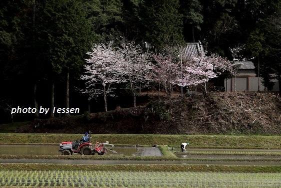 IMG_1627桜