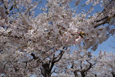 2017年5月五稜郭の桜