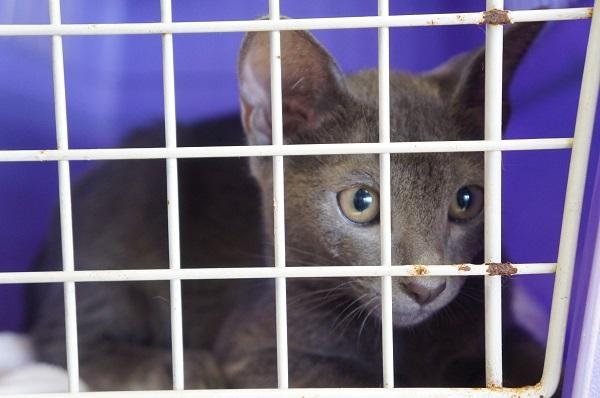 korat cat kitten コラット3