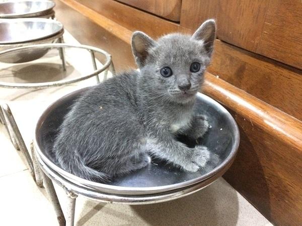 kitten korat cat 2
