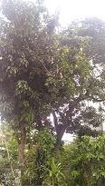 P_20170326_180456MANGO TREE