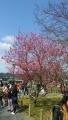 中之島公園内の梅②