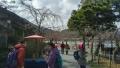 渡月亭松風閣前の桜