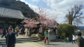 法輪寺境内の桜