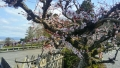 法輪寺境内の梅