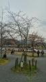 松風閣前の御衣黄桜
