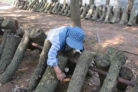 「母が作っている椎茸を採りに行きました!」A (3)