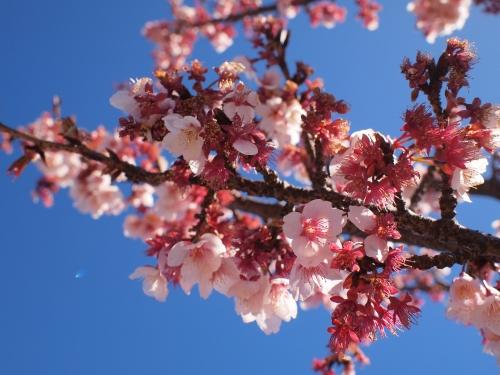さくら 桜 サクラ 170228