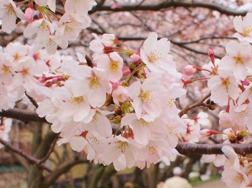 さくら 桜 サクラ 1702282