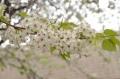 桜の花_01