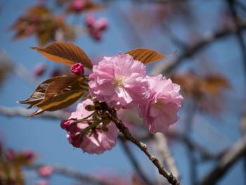 八重桜20170420