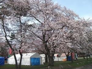 170420北側の桜1
