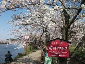 170424桜のトンネル