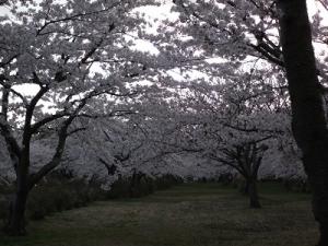 170427平滝沼桜1