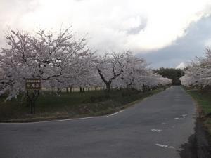 170427平滝沼桜2