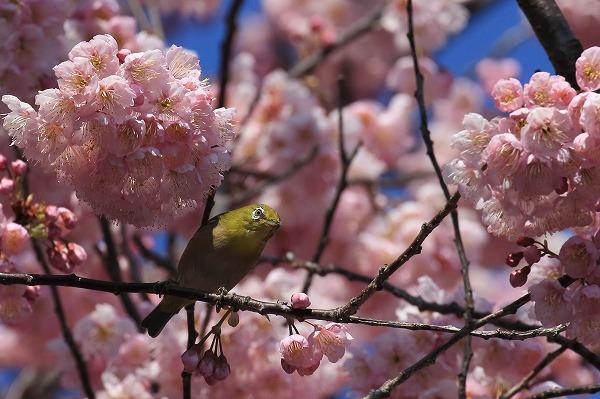 椿神社椿寒桜&メジロ 170304 02