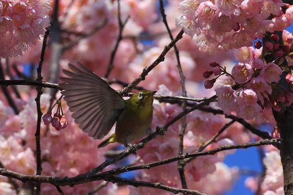 椿神社椿寒桜&メジロ 170304 03