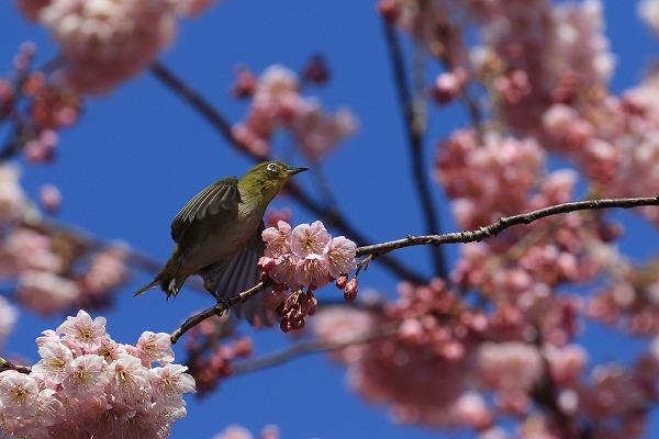椿神社椿寒桜&メジロ 170304 05
