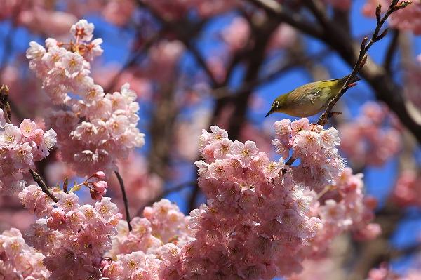 椿神社椿寒桜&メジロ 170304 06