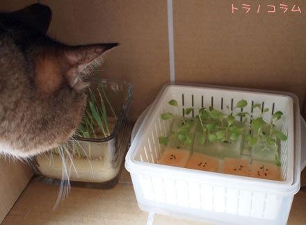 猫草どろぼう
