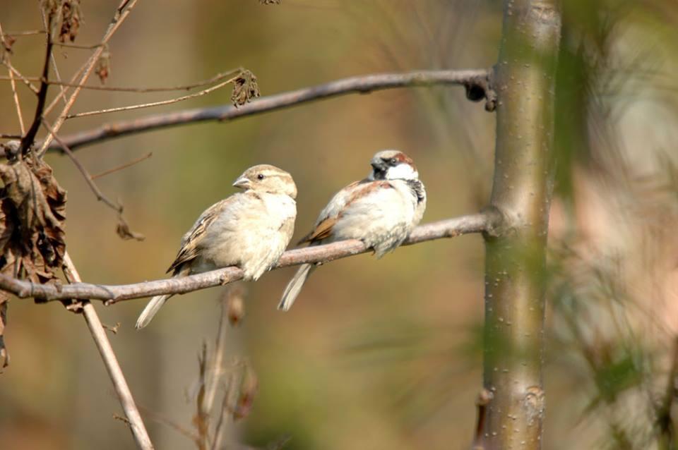 house sparrow2