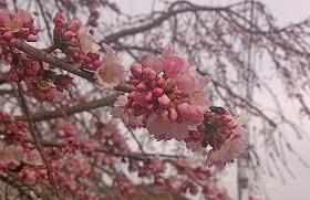 DSC_1708(1)常田枝垂桜