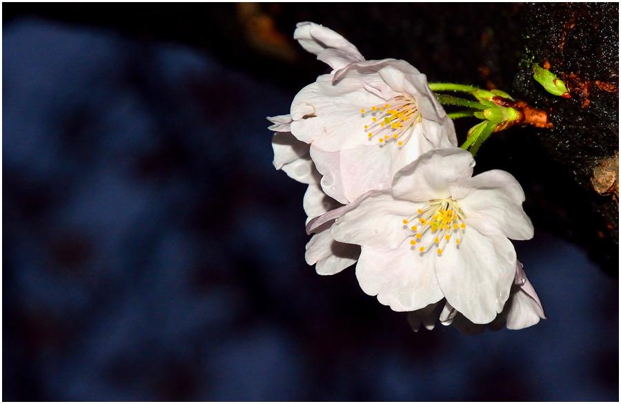 夜桜・助手2