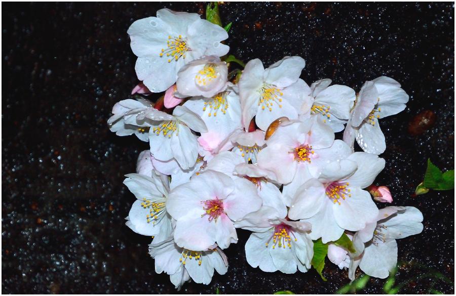 夜桜・助手3