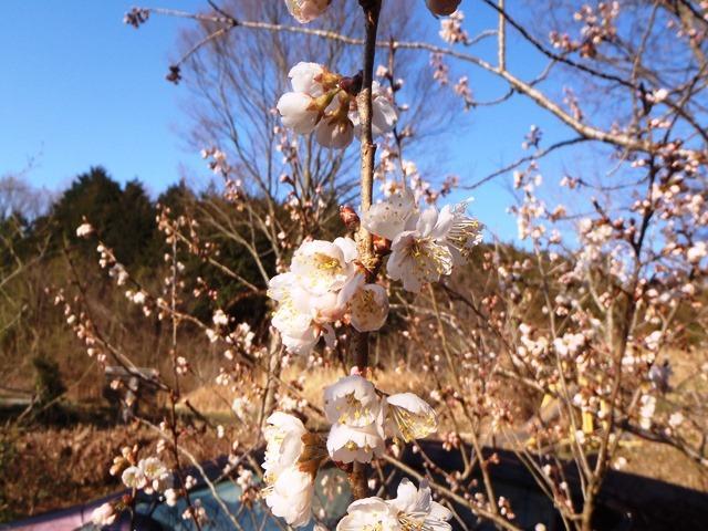 暖地桜桃220170402
