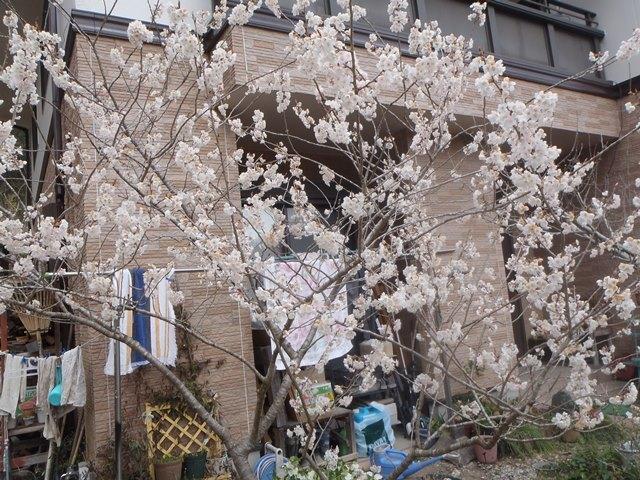 暖地桜桃20170406