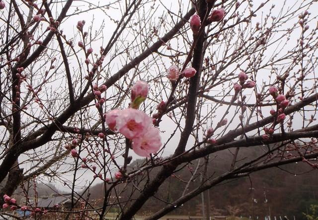 桃の花20170408