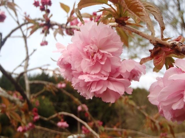 八重桜20170422