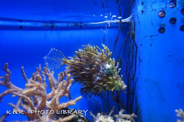 2016年6月25日沼津港深海水族館・ヒゲハギ6