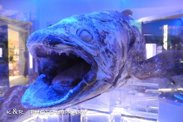 2016年6月25日沼津港深海水族館・シーラカンス8