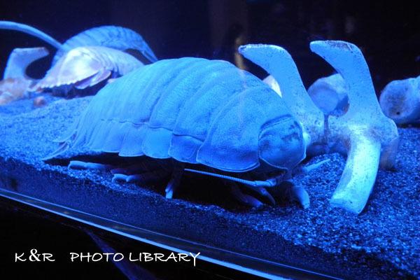 2016年6月25日沼津港深海水族館・ダイオウグソクムシ16