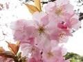 慈光寺の楊貴妃桜2
