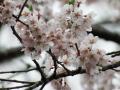 金谷城山桜2017花