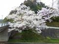 2017佐々木桜1