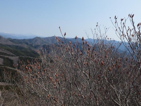 4月14日アカヤシオ