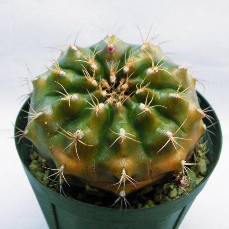 Sany0006--damsii ssp evae v centrispinum--VoS 03-045--Robore Santa Cruz 288m --ex Shimada