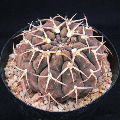 Sany0200--piltziorum--LF 20--Pituil LR--Jecminek seed-