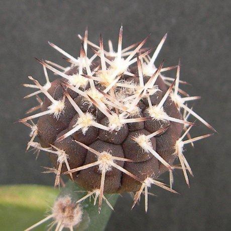 Sany0015--piltziorum--VoS 05-126--VoS seed