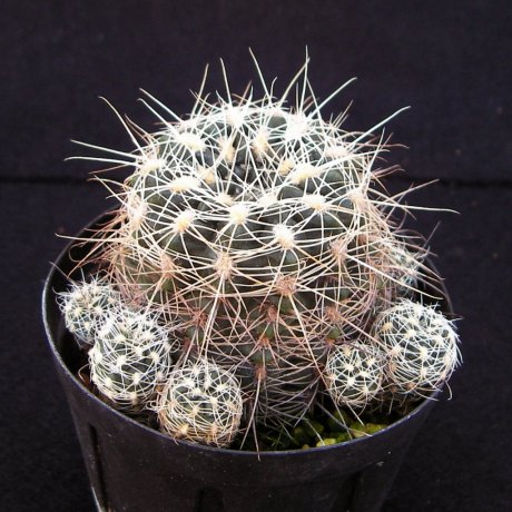 Sany0227--bruchii ssp susannae--HV 1281--Copina Cordoba--ex Eden IB 20004