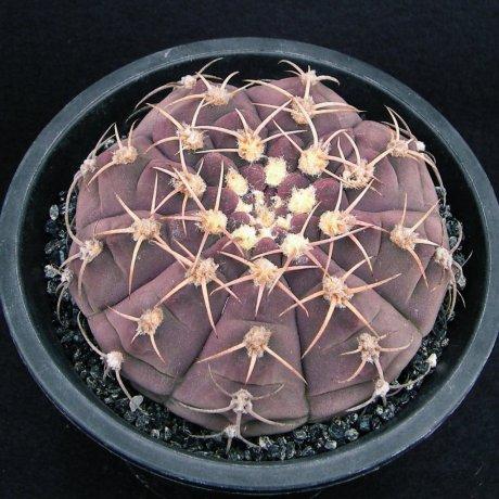Sany0025--bayrianum--Amerhauser seed(1998)--Sierra Ancasti bei El Alto--ex Tutiya--