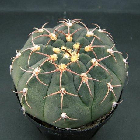 Sany0122--bayrianum--Sierra Ancasti bei El Alto--Amerhauser seed(1998)--ex Tutiya