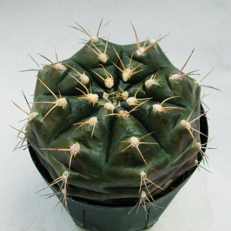Sany0057--damsii v tucavosense--Mesa seed--ex Houmei en