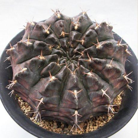 Sany0089--rotundicarpum--Piltz seed 3293